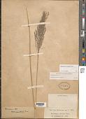 view Muhlenbergia emersleyi Vasey digital asset number 1