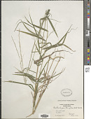 view Muhlenbergia tenuiflora (Willd.) Britton, Stearns & Poggenb. digital asset number 1