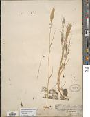 view Distichlis spicata (L.) Greene digital asset number 1
