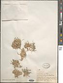 view Muhlenbergia fastigiata (J. Presl) Henrard digital asset number 1