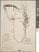 view Muhlenbergia japonica Steud. digital asset number 1