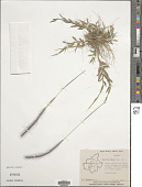 view Perotis indica (L.) Kuntze digital asset number 1