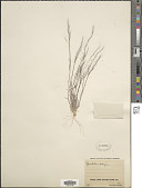 view Muhlenbergia microsperma (DC.) Kunth digital asset number 1