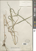 view Muhlenbergia mexicana (L.) Trin. digital asset number 1