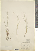 view Muhlenbergia montana (Nutt.) Hitchc. digital asset number 1