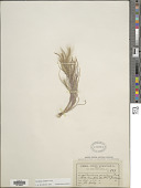 view Muhlenbergia pereilema P.M. Peterson digital asset number 1