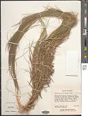 view Gymnopogon spicatus digital asset number 1