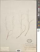 view Muhlenbergia uniflora (Muhl.) Fernald digital asset number 1