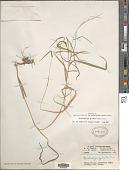 view Muhlenbergia sylvatica (Torr.) Torr. ex A. Gray digital asset number 1