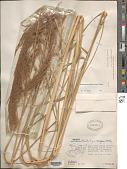 view Muhlenbergia gigantea (E. Fourn.) Hitchc. digital asset number 1