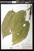 view Patinoa paraensis (Huber) Cuatrec. digital asset number 1