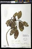 view Magnolia cubensis digital asset number 1