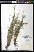 view Scleria havanensis Britton digital asset number 1