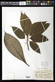 view Michelia champaca L. digital asset number 1