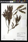 view Myoporum sandwicense A. Gray digital asset number 1