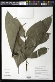 view Talisia longifolia (Benth.) Radlk. digital asset number 1