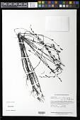 view Buchnera palustris (Aubl.) Spreng. digital asset number 1