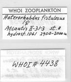 view Heterorhabdus fistulosus Tanaka, 1964 digital asset number 1