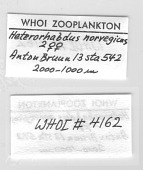 view Heterorhabdus norvegicus (Boeck, 1872) digital asset number 1