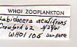 view Labidocera acutifrons (Dana, 1849) digital asset number 1