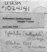 view Pylocheles (Bathycheles) integer Forest, 1987 digital asset number 1