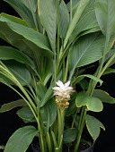 view Curcuma sp. digital asset number 1