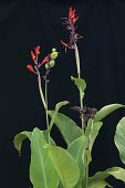 view Canna indica L. digital asset number 1