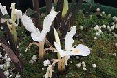 view Haniffia albiflora K. Larsen & J. Mood digital asset number 1