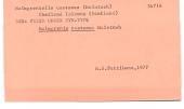 view Malmgrenia castanea McIntosh, 1876 digital asset number 1
