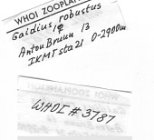 view Gaidius robustus (Sars, 1905) digital asset number 1
