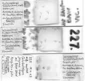 view Lagenophrys nivalis Kane, 1969 digital asset number 1