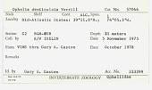 view Ophelia denticulata Verrill, 1875 digital asset number 1