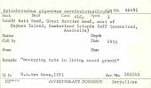 view Spirobranchus giganteus corniculatus (Grube, 1863) digital asset number 1