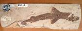 view Scyliorhinus elongatus (Davis) digital asset number 1