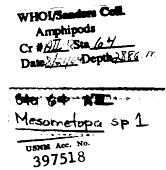view Mesometopa sp. digital asset number 1