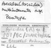view Aricidea (Aricidea) multiantennata Lovell, 2002 digital asset number 1