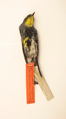 view Dendroica coronata auduboni digital asset number 1