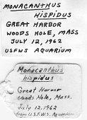view Monacanthus hispidus digital asset number 1