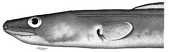 view Leptocephalus erebennus Jordan & Snyder digital asset number 1