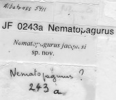 view Nematopagurus jacquesi McLaughlin, 2004 digital asset number 1