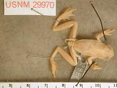 view Dendropsophus phlebodes digital asset number 1