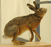 view Lepus capensis digital asset number 1
