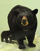 view Ursus americanus digital asset number 1