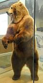 view Ursus arctos digital asset number 1