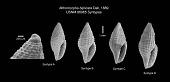 view Mitromorpha biplicata Dall, 1889 digital asset number 1