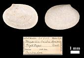 view Mysella barbadensis Dall, 1899 digital asset number 1
