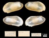 view Idas argenteus lamellosus Verrill, 1882 digital asset number 1