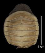 view Placophora (Euplacophora) atlantica Verrill in Smith & Verrill, 1882 digital asset number 1