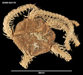 view Ophiacantha frigida Koehler, 1908 digital asset number 1