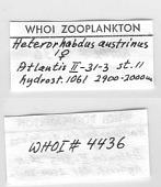 view Heterorhabdus austrinus Giesbrecht, 1902 digital asset number 1